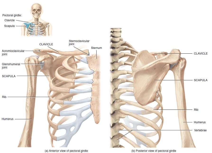 Anatomy Of Shoulder Girdle Image Collections Human Body Anatomy